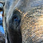 olifant, oog
